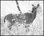 """Deer in Sparklewoods"" by David Wagner"